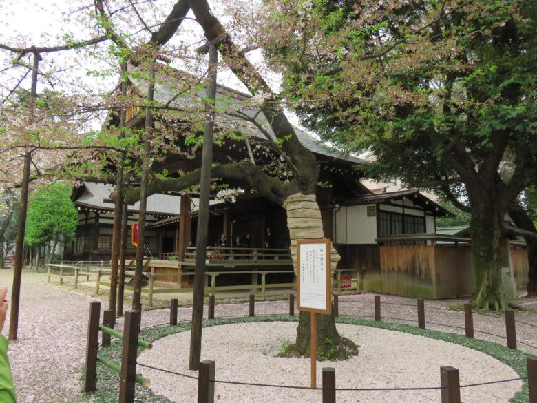 桜開花標本