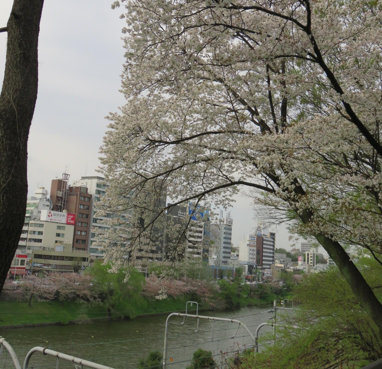 【外濠公園】靖国神社近くにあるお花見の穴場!